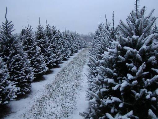 christmas-trees-at-sugargrove-tree-farm